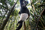 Male Indri (Indri indri) in forest understorey. Mitsinjo Reserve, Andasibe-Mantadia National Park, eastern Madagascar. Endangered.