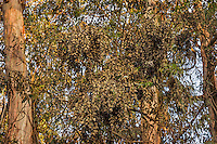 Western Monarch Butterflies (Danaus plexippus) in wintering cluster, coastal California.  From a distance the clustering monarchs look like dead leaves.