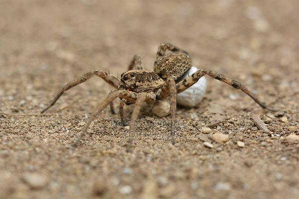 Carolina Wolf Spider (Hogna carolinensis), female with egg sac, Hill Country, Central Texas, USA
