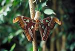 Spanien, Kanaren, Gran Canaria, im Palmitos-Park: Atlasspinner (Attacus atlas) kurz nach dem Schluepfen aus seinem Kokon, Fluegel zum Trocknen ausgebreitet. Schmetterling (Nachtfalter) aus der Familie der Pfauenspinner (Saturniidae). Er gehoert zu den groessten Schmetterlingen der Welt und wurde nach dem Titan Atlas aus der griechischen Mythologie benannt | Spain, Canary Islands, Gran Canaria, at Palmitos-Park: Atlas moth (Attacus atlas) is a large saturniid moth