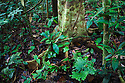 Understory vegetation in lowland dipterocarp rainforest. Danum Valley, Sabah, Borneo, Malaysia.