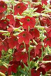 'Baby Bella' Dwarf Flowering Tobacco, Nicotiana alata