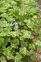 Pelargonium 'Fragrans Variegatum' (Variegated Scented Geranium)