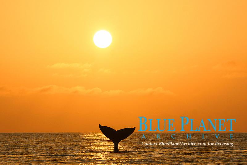 humpback whale, Megaptera novaeangliae, at sunset, Chichi-jima, Bonin Islands, Ogasawara Islands, Natural World Heritage Site,  Tokyo, Japan, Pacific Ocean