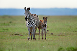 Grant's zebra and foal, Amboseli National Park, Kenya
