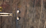 Canada Goose standing on the end of a log with reflected trees in the water