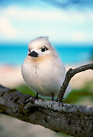 A white tern or manu o ku chick in the kure atoll, (gygis alba rothschildi). The oahu population of this bird is listed as threatened.