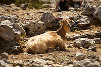 Mountain goats on Mount Ainos, Kefalonia, Ionian Islands, Greece.