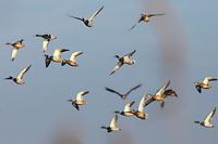 Stockente, Männchen, Schwarm, Trupp, fliegend, Flug, Flugbild, Stock-Ente, Anas platyrhynchos, mallard, wild duck, Le Canard colvert, Canard mallard