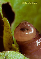 1Y01-045z  Earthworm - close up of mouth