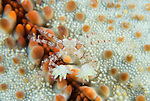 Boxer crab or Pom Pom Crab, Lybia tesselata has tiny stinging anemones which they hold in their claws for defense, and which feed on the crab's scraps in return.