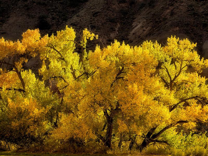 Cotonwood trees in fall color. Capital Reef National Park, Utah