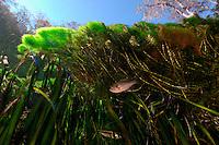 Bluegill, Lepomis macrochirus, Wacissa river, Florida