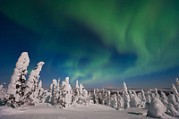 Aurora borealis over a snow loaded boreal forest of Spruce trees, Interior, Alaska.