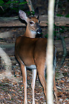 White-tailed deer doe walking away from camera, looks back at photographer, vertical.