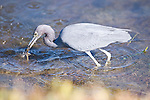Ding Darling National Wildlife Refuge, Sanibel Island, Florida; a Little blue heron (Egretta caerulea) bird catches dinner while foraging for food in the shallow water near the shore of the refuge © Matthew Meier Photography, matthewmeierphoto.com All Rights Reserved