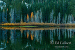 Aspen, Populus Tremula, Willows, Gold Lake, Plumas National Forest, California