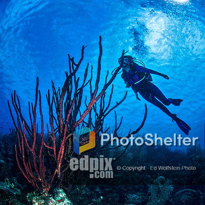 26 January 2016:  SCUBA Diver Sally Herschorn swims over a cluster of red Tree Sponges (Amphimedon compressa) at Monk's Haven Reef on Klein Bonaire. Klein Bonaire (Small Bonaire) is an uninhabited island off the west coast of Bonaire in the Dutch Caribbean. Bonaire is known for its pioneering role in the preservation of the marine environment. A part of the Netherland Caribbean Islands, Bonaire is located off the coast of Venezuela and offers excellent scuba diving, snorkeling and windsurfing.  Mandatory Credit: Ed Wolfstein Photo *** RAW (NEF) Image File Available ***