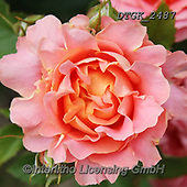 Gisela, FLOWERS, BLUMEN, FLORES, photos+++++,DTGK2487,#f#, EVERYDAY ,rose,roses