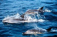 Atlantic white-sided dolphins, Lagenorhynchus acutus, and short-beaked common dolphins, Delphinus delphis, Scotian Shelf, Nova Scotia, Canada, Atlantic Ocean