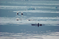 Itukusuk, An Inuit hunter, pursues a pod of Narwhals, Monodon monoceros, in his kayak in Inglefield Bay. Northwest Greenland, Arctic