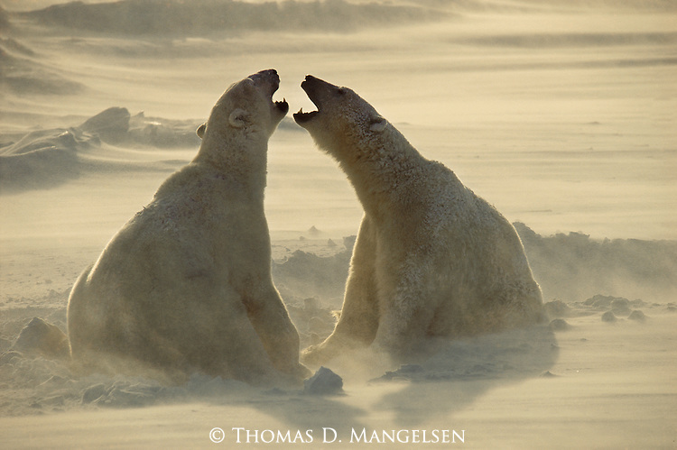 Two polar bears socialize at Hudson Bay, Manitoba, Canada.