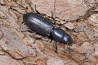 Jagdkäfer, Blauer Getreidenager, Temnochila coerulea, Bark-gnawing Beetle, Jagdkäfer, Trogossitidae, Bark-gnawing Beetles
