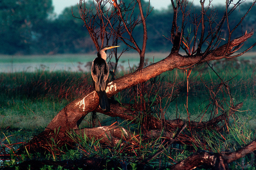 Darter or Comorant in Yellow water Kakadu National Park, NT Australia