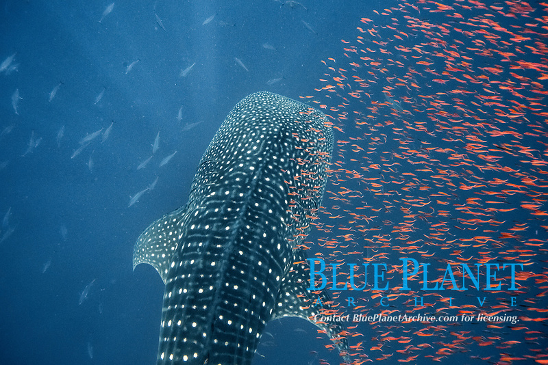 whale shark, Rhincodon typus, and prey species of small fish following it to to avoid being eaten, Honda Bay, Palawan, Philippines, Sulu Sea, Pacific Ocean