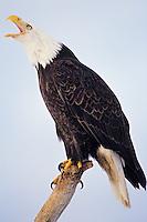 Bald Eagle vocalizing while sitting on piece of coastal driftwood.
