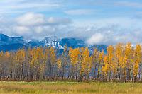 Balsam Poplar trees on the north side of the Kigluaik mountains, near Pilgrim Springs, Seward Peninsula, western Arctic, Alaska.
