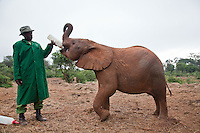 A keeper feeds one of the 18 orphaned baby elephants at the David Sheldrick Wildlife Trust in Nairobi National Park.