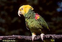 PA01-008z  Yellow-headed Amazon Parrot - Amazona ochrocephala