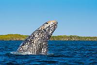 gray whale, Eschrichtius robustus, breaching, Baja California, Mexico, Pacific Ocean
