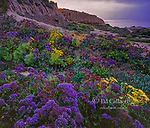 Dawn, Sea Lavender, limonium latifolium, Leo Carillo State Beach, Malibu, California