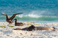 endemic Hawaiian monk seals, Neomonachus schauinslandi ( Critically Endangered Species ), pup plays with tin can chosen from marine debris washed up on beach while mother rests near black-footed albatrosses, Phoebastria nigripes, East Island, French Frigate Shoals, Papahanaumokuakea Marine National Monument, Northwest Hawaiian Islands, USA ( Central Pacific Ocean )