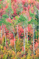 Mixed varieties of maple trees with aspens in fall color. Targhee National Forest, Idaho