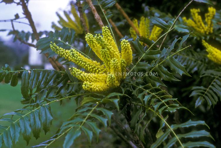 Mahonia lomariifolia in bloom
