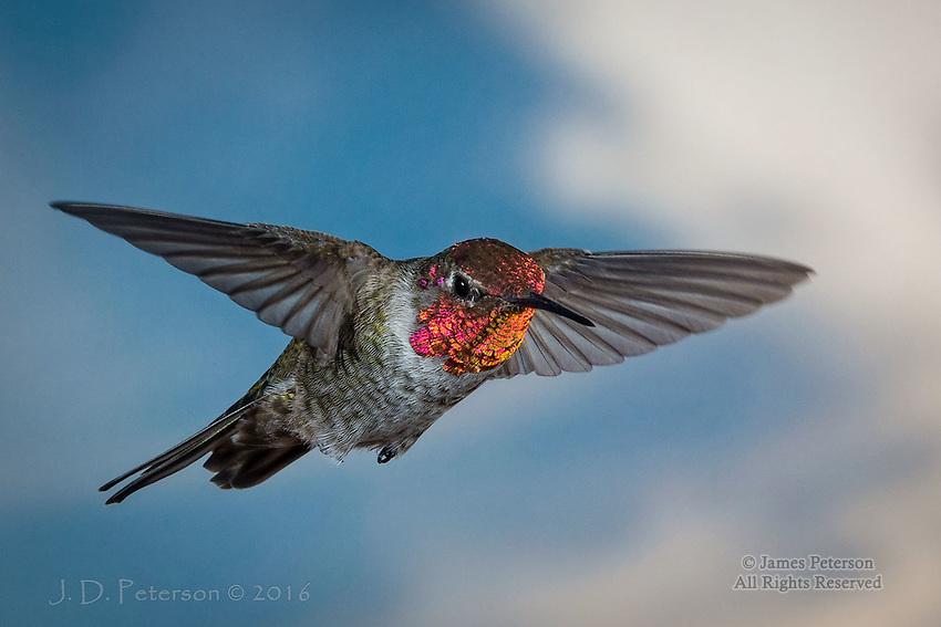 Anna's Hummingbird (Male), Sedona, Arizona ©2016 James D Peterson.
