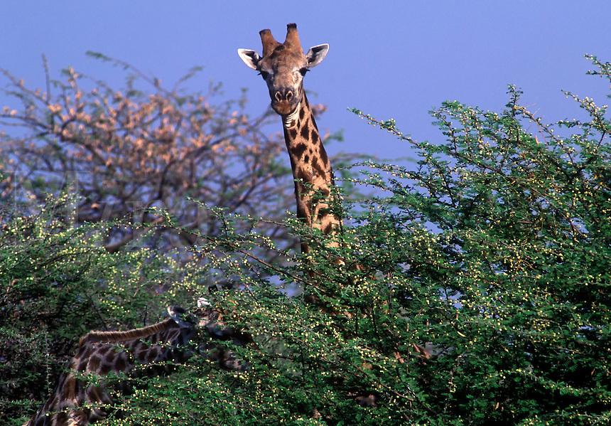The SOUTHERN GIRAFFE (Giraffa Camelopardalis) has lighter spots than its northern relative - SAVUTI MARSH, CHOBE NATIONAL PARK, BOTSWANA