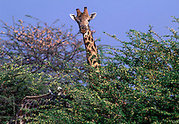 The SOUTHERN GIRAFFE (Giraffa Camelopardalis) has lighter spots than its northern relative - SAVUTI MARSH, CHOBE NATIONAL PARK, BOTSWANA
