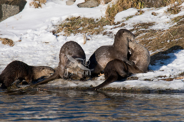 Northern River Otter (Lontra canadensis) playing along river bank.