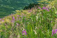 Summer wildflowers at Turnagain Pass in Chugash National Forest on Kenai Peninsula, Alaska