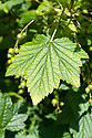 A blackcurrant showing signs of iron or managanese deficiency - the leaves turn yellow in between green veins. Also called lime-induced chlorosis, it is common in alkaline soils with a high pH.