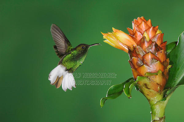 Coppery-headed Emerald, Elvira cupreiceps, male in flight feeding on Spiral Ginger (Costus Pulverulentus), Central Valley, Costa Rica, Central America
