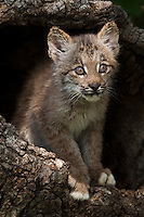 Canada Lynx peering out of a hollow log - CA