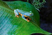 splendid leaf frog, or splendid treefrog, Cruziohyla calcarifer, or Agalychnis calcarifer, Vara Blanca, Heredia, Costa Rica, Central America