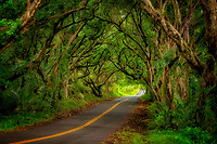 Tree covered road along the Puna Coast. Hawaii