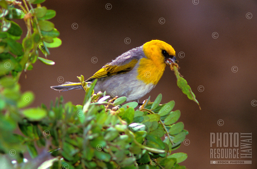 Palila, Loxioides bailleui, endangered Hawaiian honeycreeper. Feeds almost exclusively on the seeds of the Mamane tree and found at high elevations on Mauna Kea.
