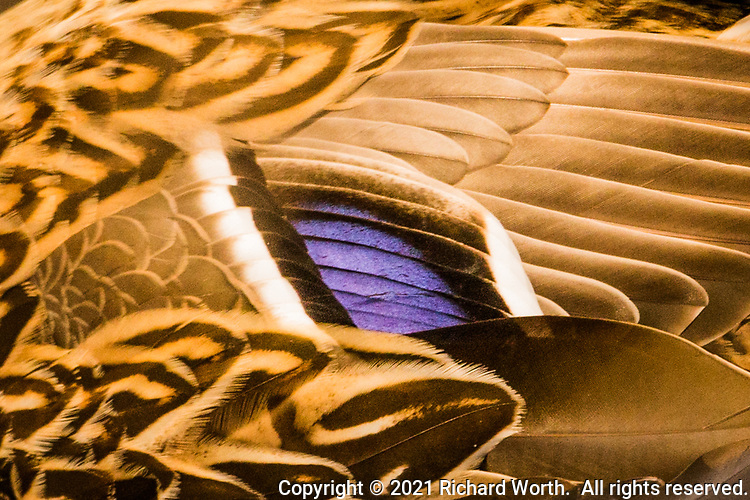 The distinctive purple patch surrounded by shades of brown identify this abstract close-up as the feathers on a female mallard duck.